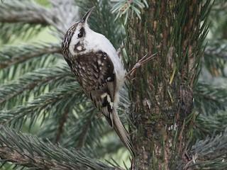 - Hodgson's Treecreeper