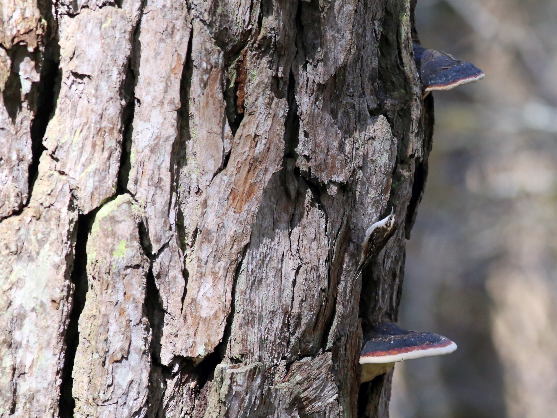 Hodgson's Treecreeper - Peter Hosner