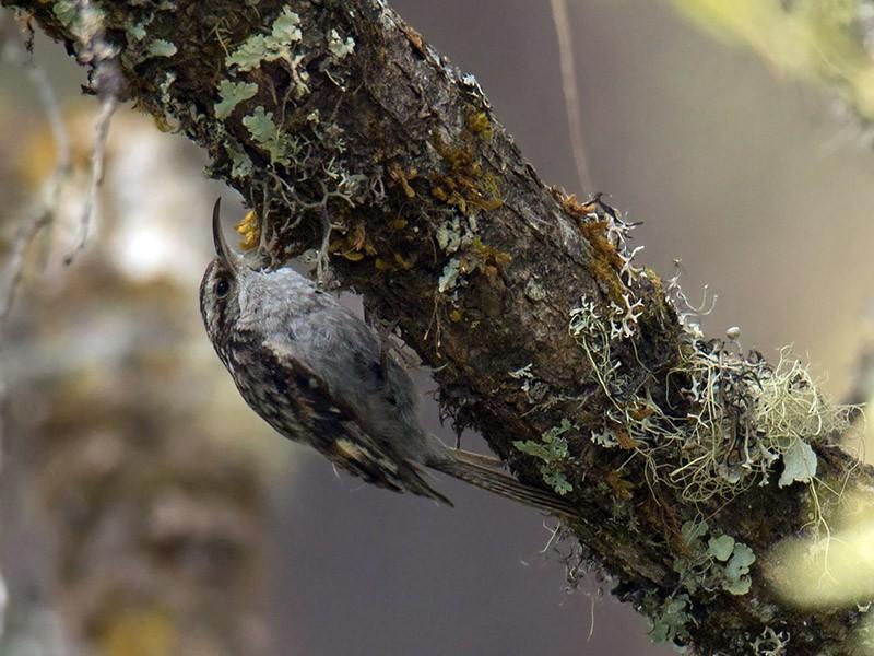 Bar-tailed Treecreeper - Wich'yanan Limparungpatthanakij
