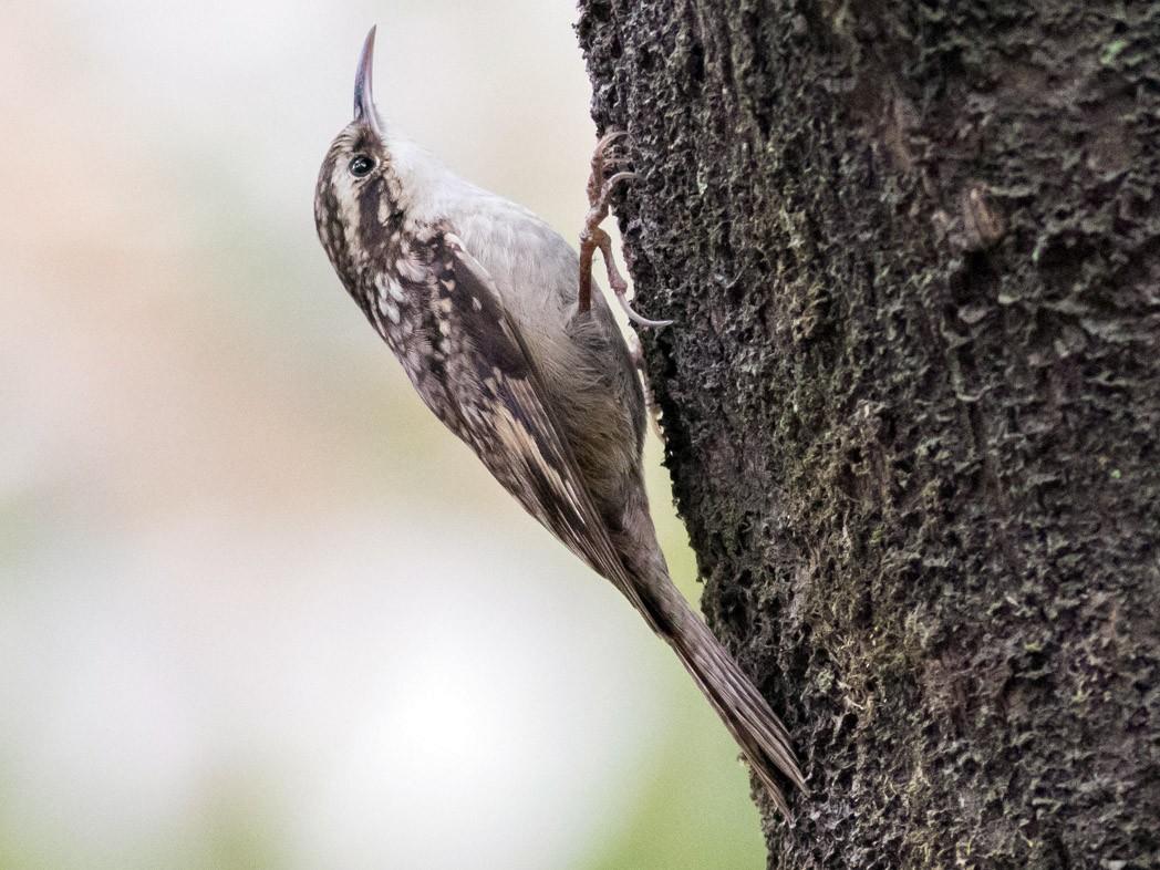 Bar-tailed Treecreeper - Tom Johnson