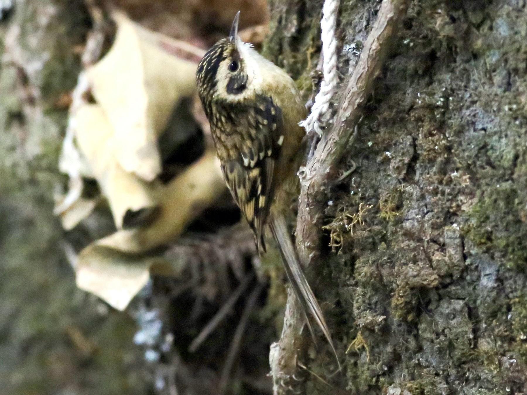 Rusty-flanked Treecreeper - Peter Hosner