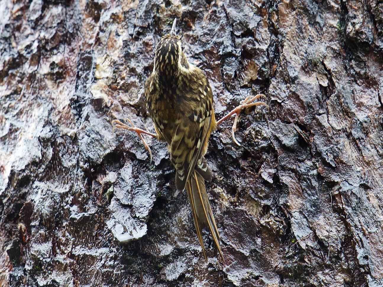 Rusty-flanked Treecreeper - Craig Brelsford