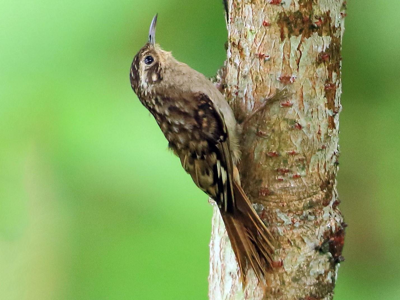 Sikkim Treecreeper - Arnab Pal