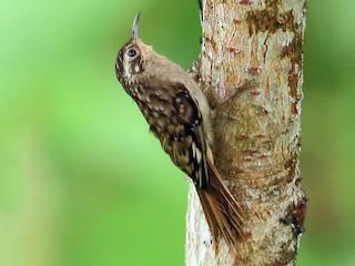 - Sikkim Treecreeper