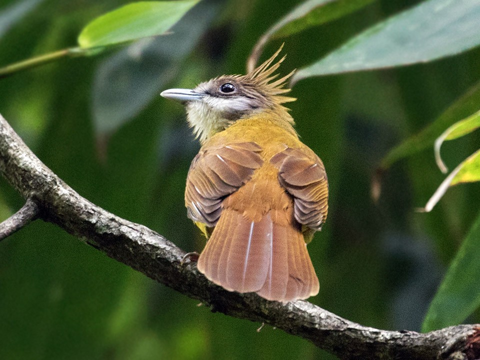 White-throated Bulbul - Sam Woods