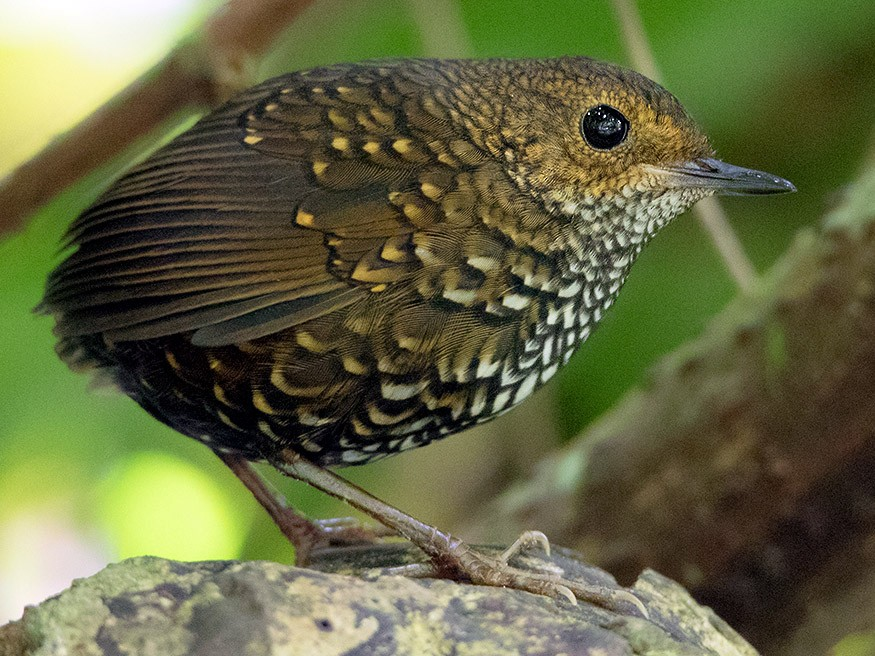 Pygmy Cupwing - Ayuwat Jearwattanakanok
