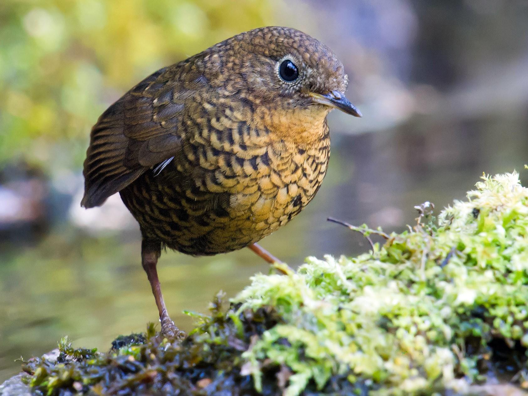 Pygmy Cupwing - Craig Brelsford