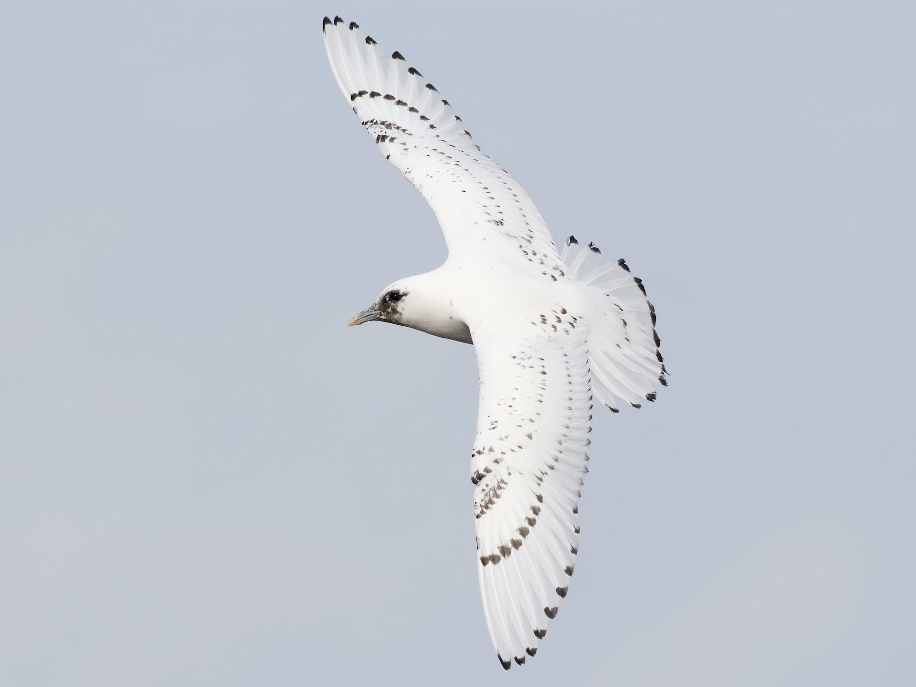 Ivory Gull - Steve Kolbe