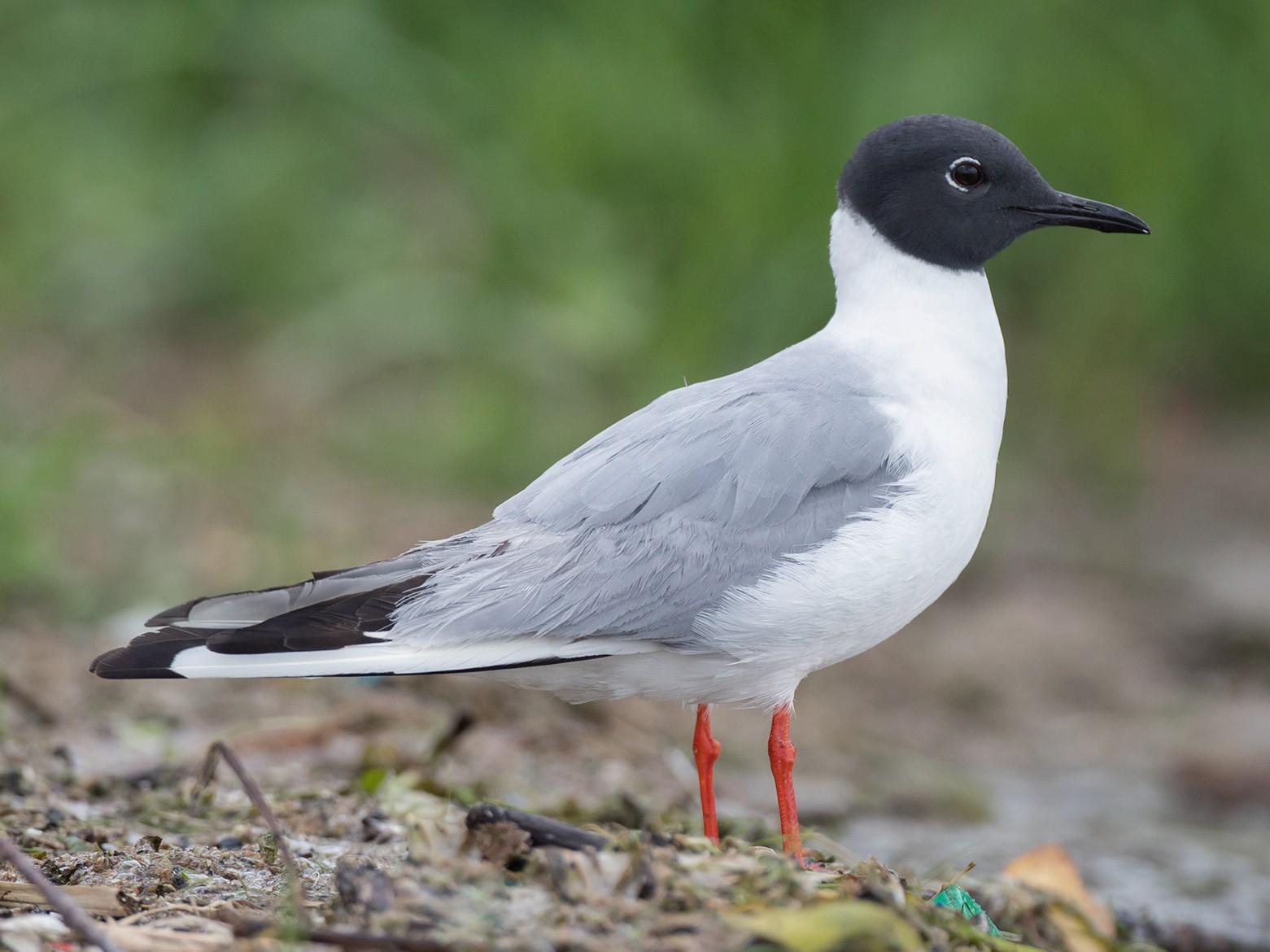 Bonaparte's Gull - Brendan Klick