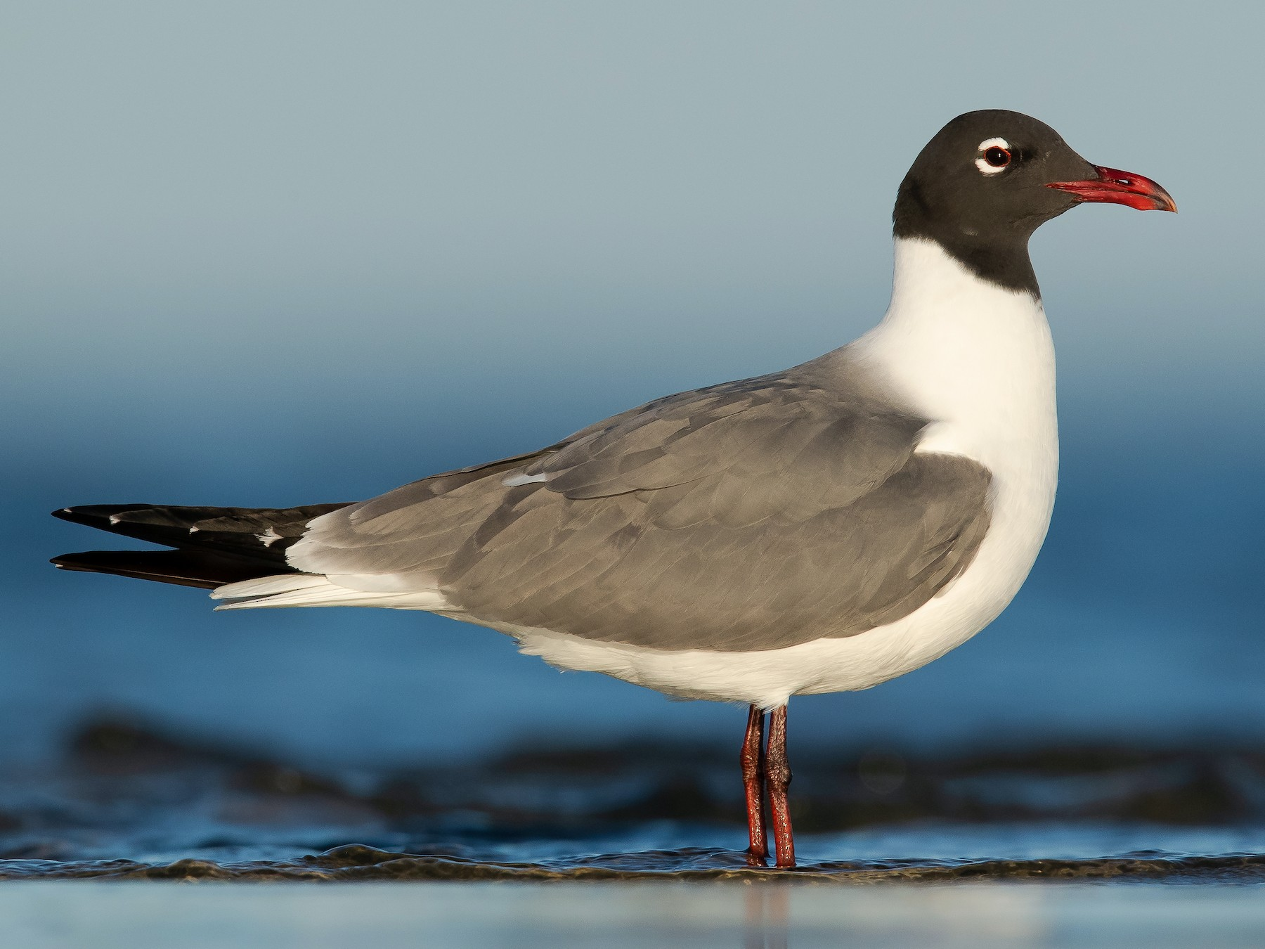 Laughing Gull - Dorian Anderson