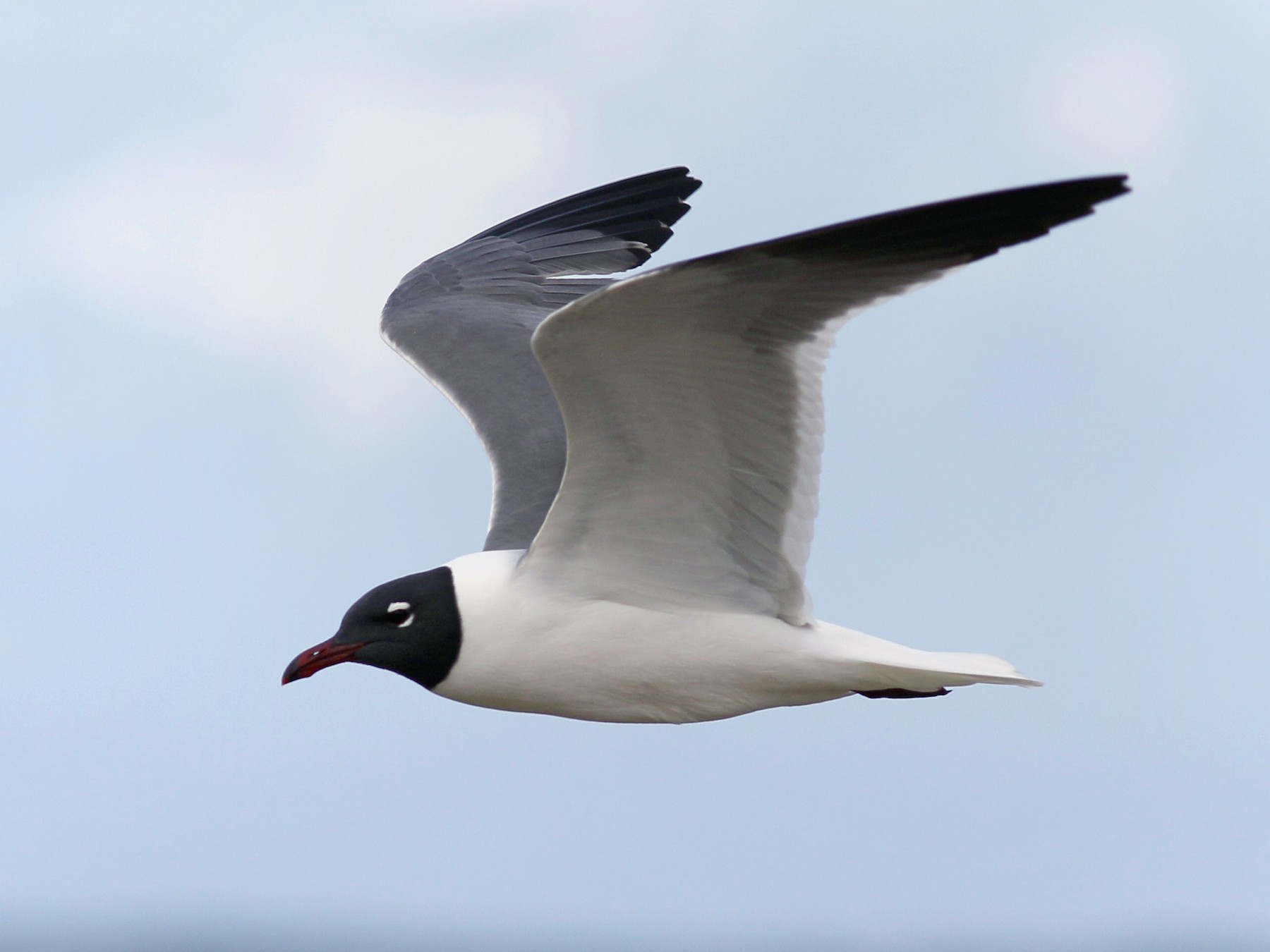 Laughing Gull - John Sullivan