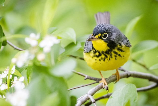 Definitive Alternate male Canada Warbler (24 May).