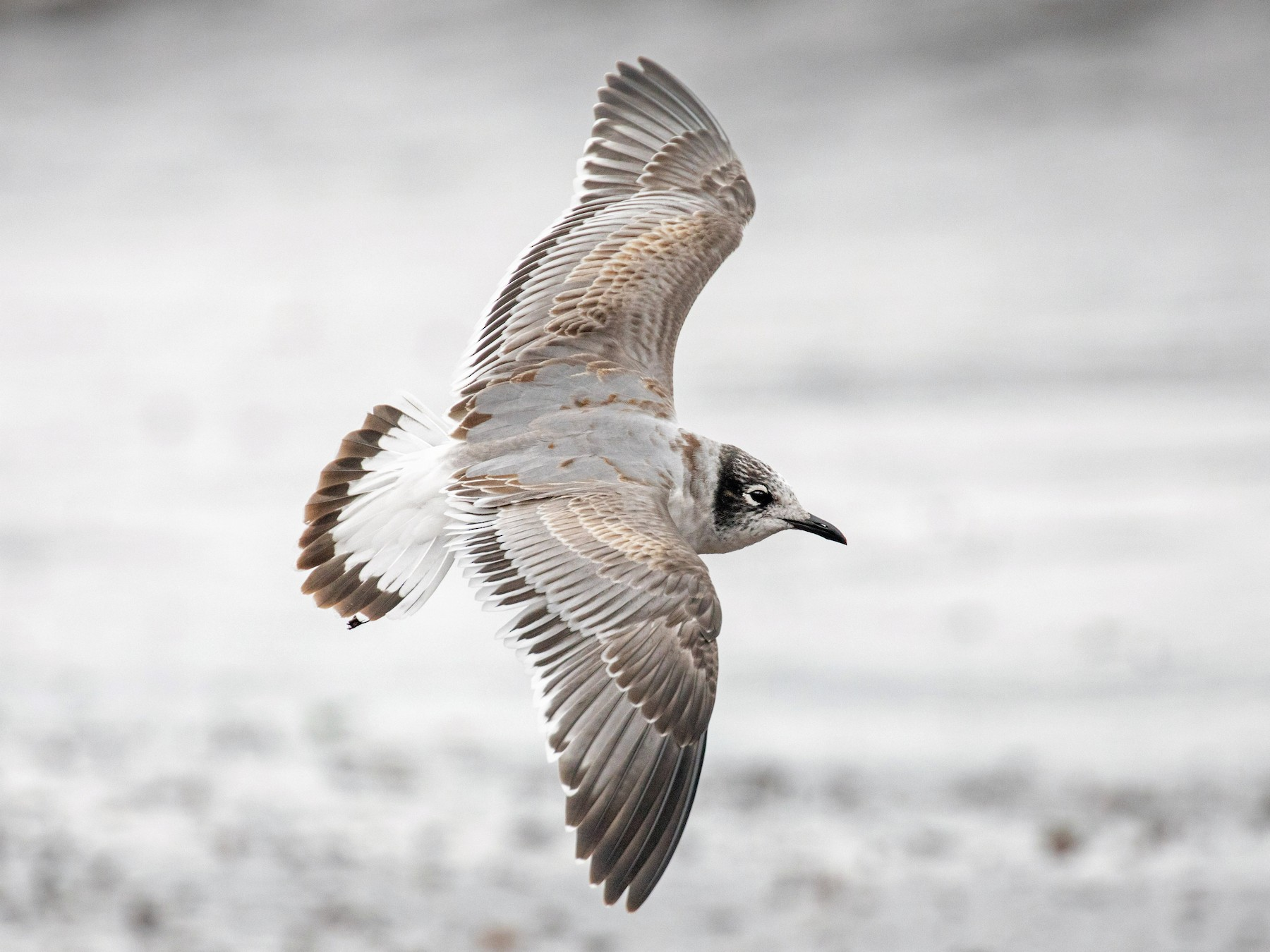 Franklin's Gull - Tony Dvorak