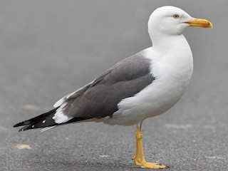 - Lesser Black-backed Gull