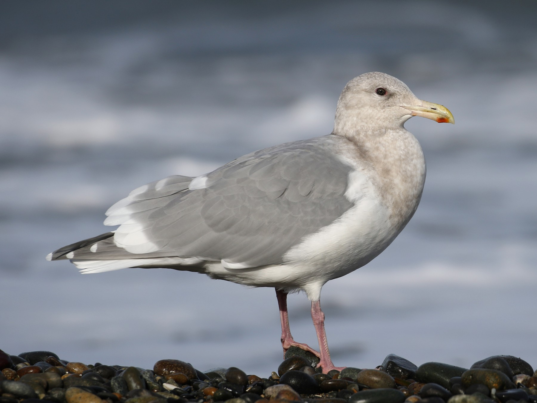 Glaucous-winged Gull - Cameron Eckert