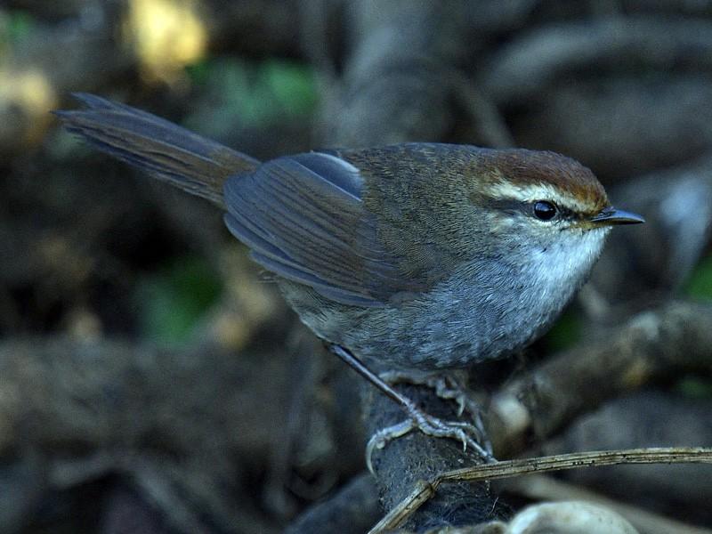 Chestnut-crowned Bush Warbler - Rofikul Islam