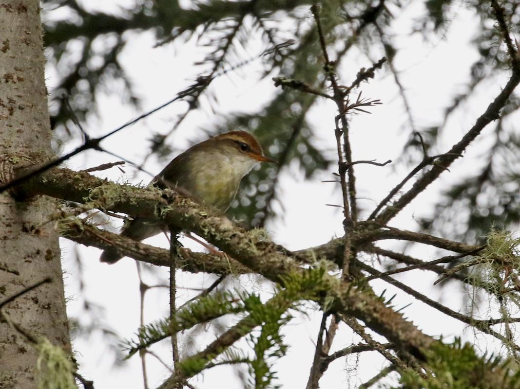 Chestnut-crowned Bush Warbler - Charley Hesse