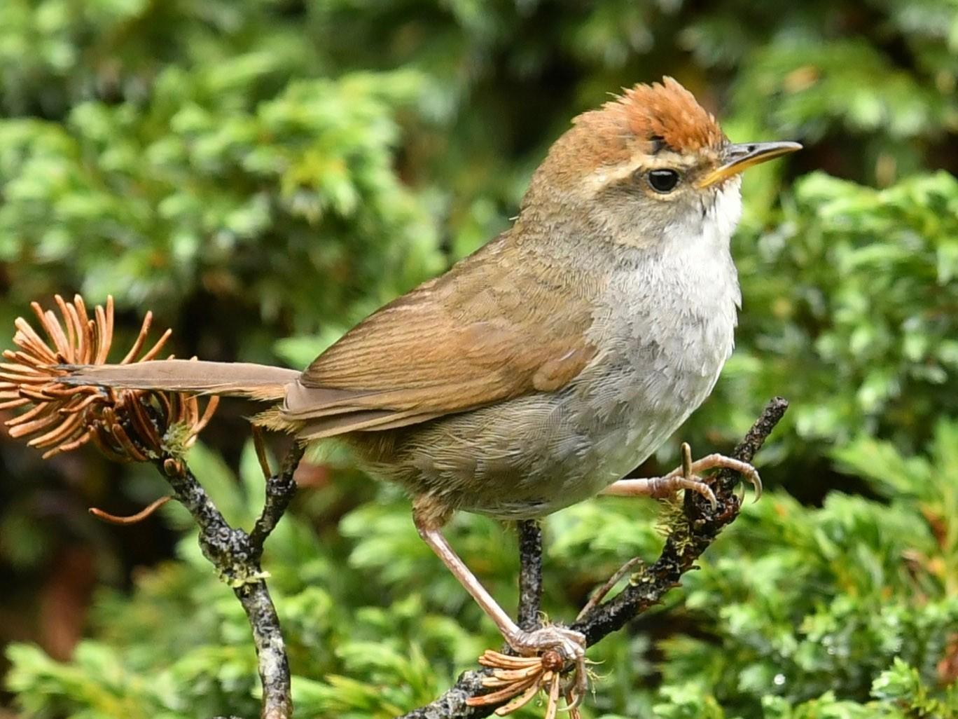 Gray-sided Bush Warbler - Qin Huang