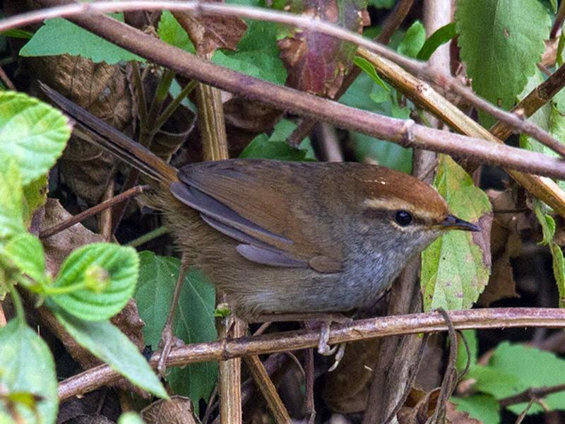 Gray-sided Bush Warbler - Prashant Kumar