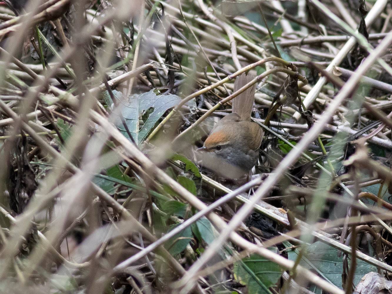 Gray-sided Bush Warbler - Tom Johnson
