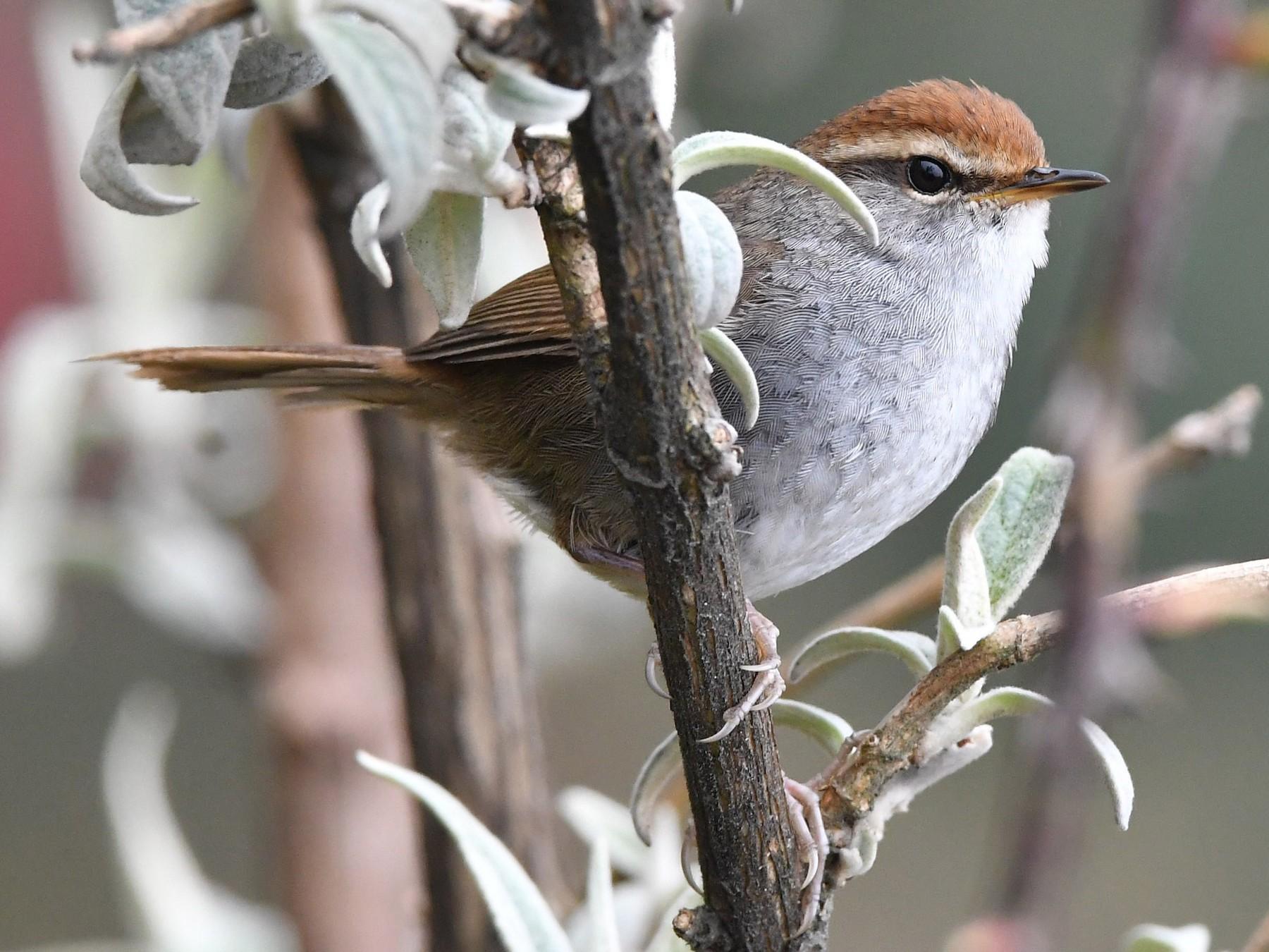 Gray-sided Bush Warbler - Sriram Reddy