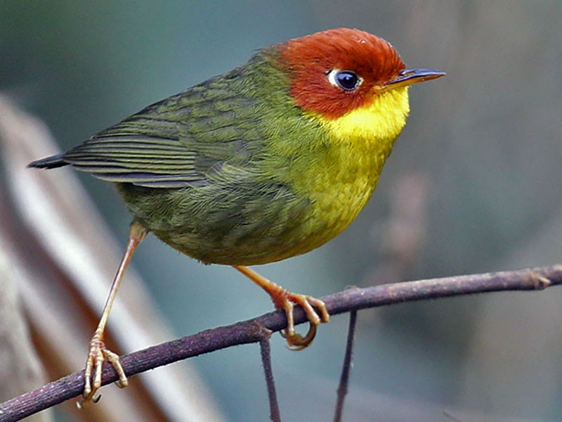 Chestnut-headed Tesia - Sonam Dorji