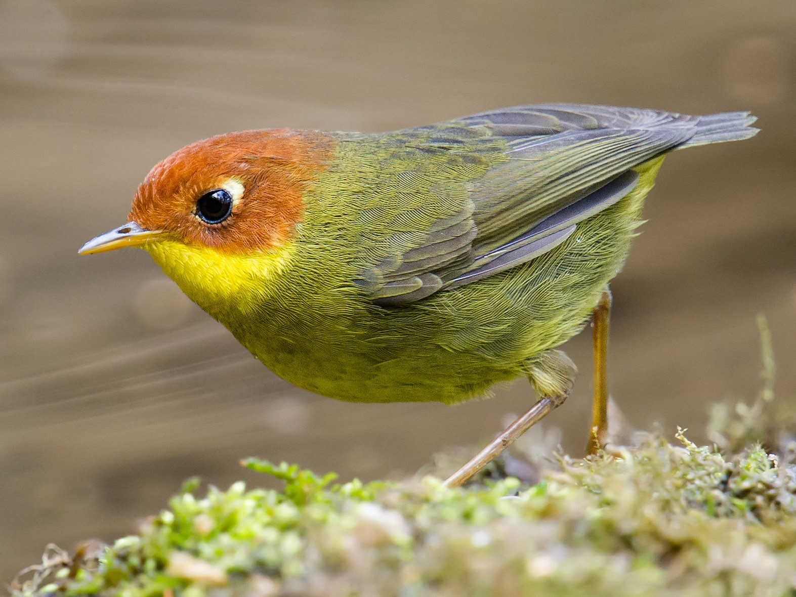Chestnut-headed Tesia - Craig Brelsford