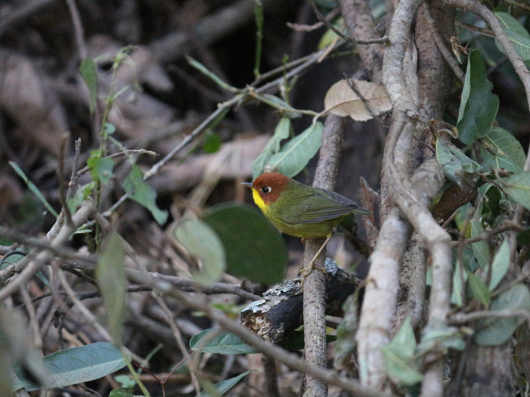 Chestnut-headed Tesia - Vipul  lunia