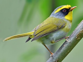 - Black-faced Warbler