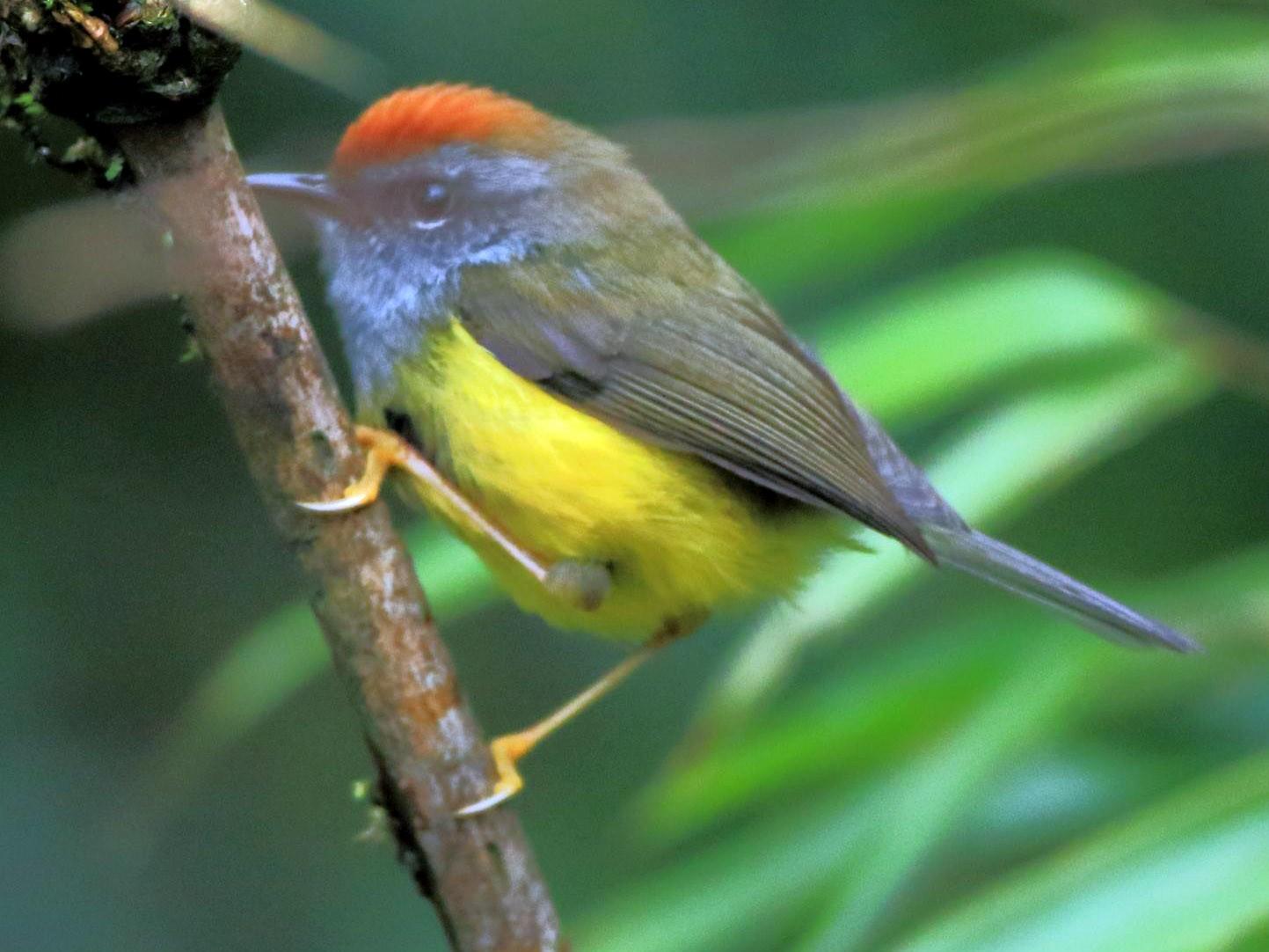 Broad-billed Warbler - Arnab Pal