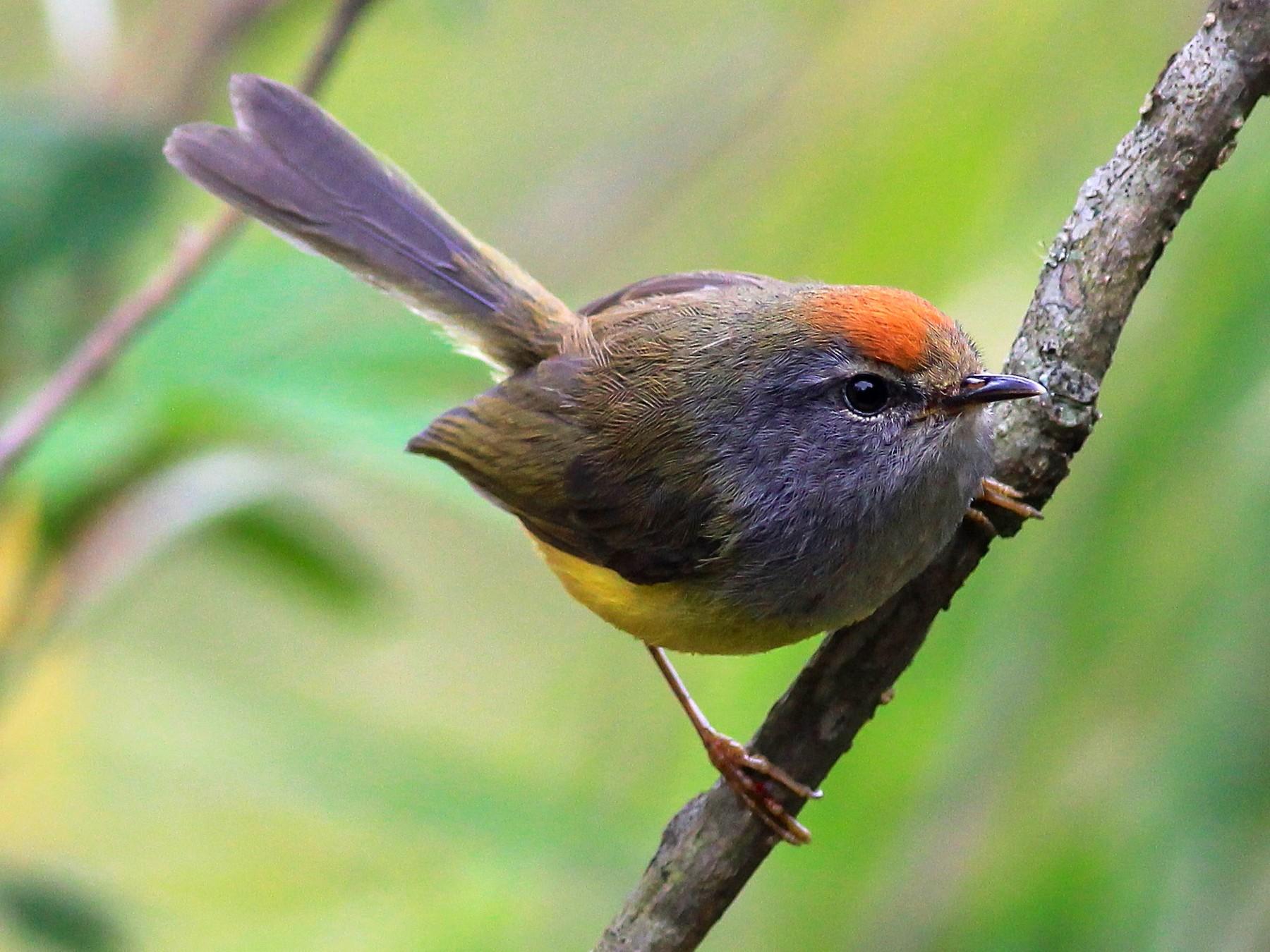 Broad-billed Warbler - Stefan  Hirsch