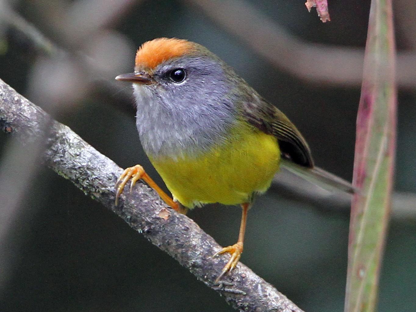 Broad-billed Warbler - Christoph Moning