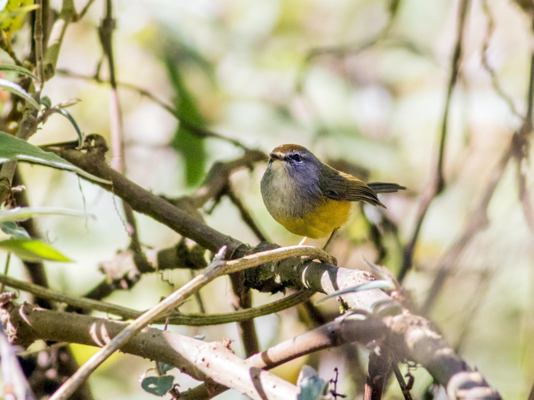 Broad-billed Warbler - Rajdeep Mitra