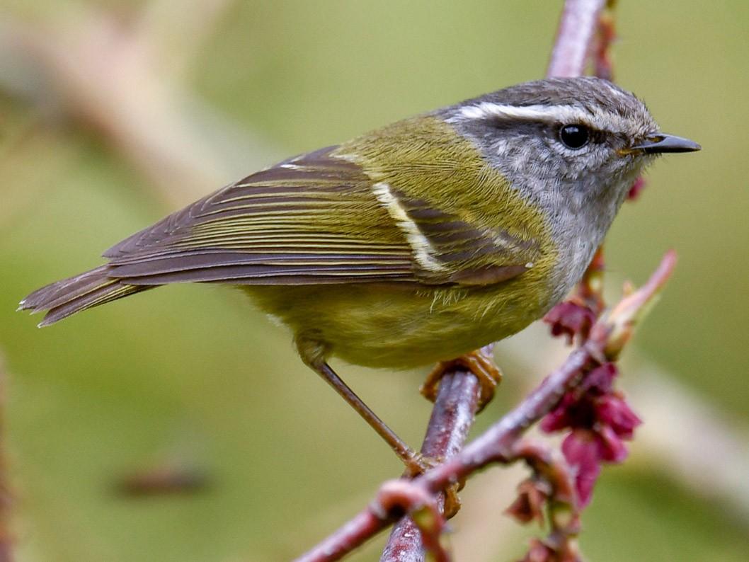 Ashy-throated Warbler - Saurabh Sawant