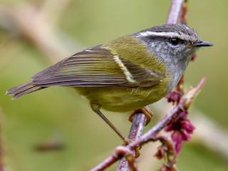 - Ashy-throated Warbler