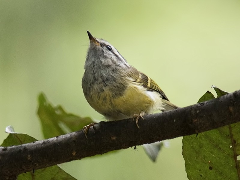 Ashy-throated Warbler - Sandip Das