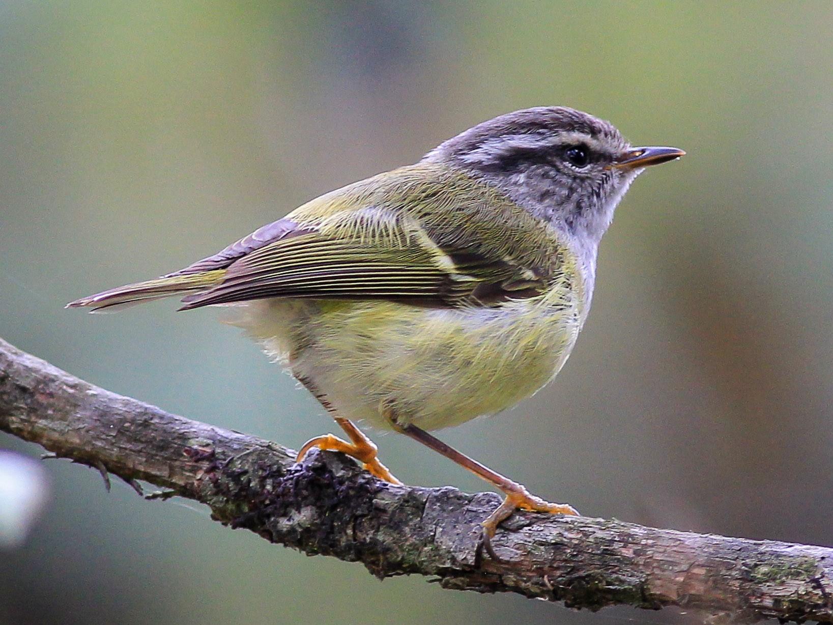 Ashy-throated Warbler - Stefan  Hirsch