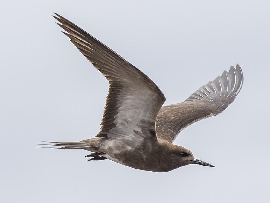 Sooty Tern - Matthew Kwan