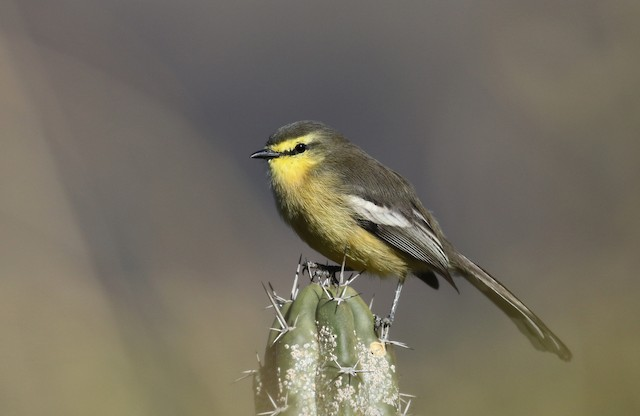 Greater Wagtail-Tyrant (Greater)