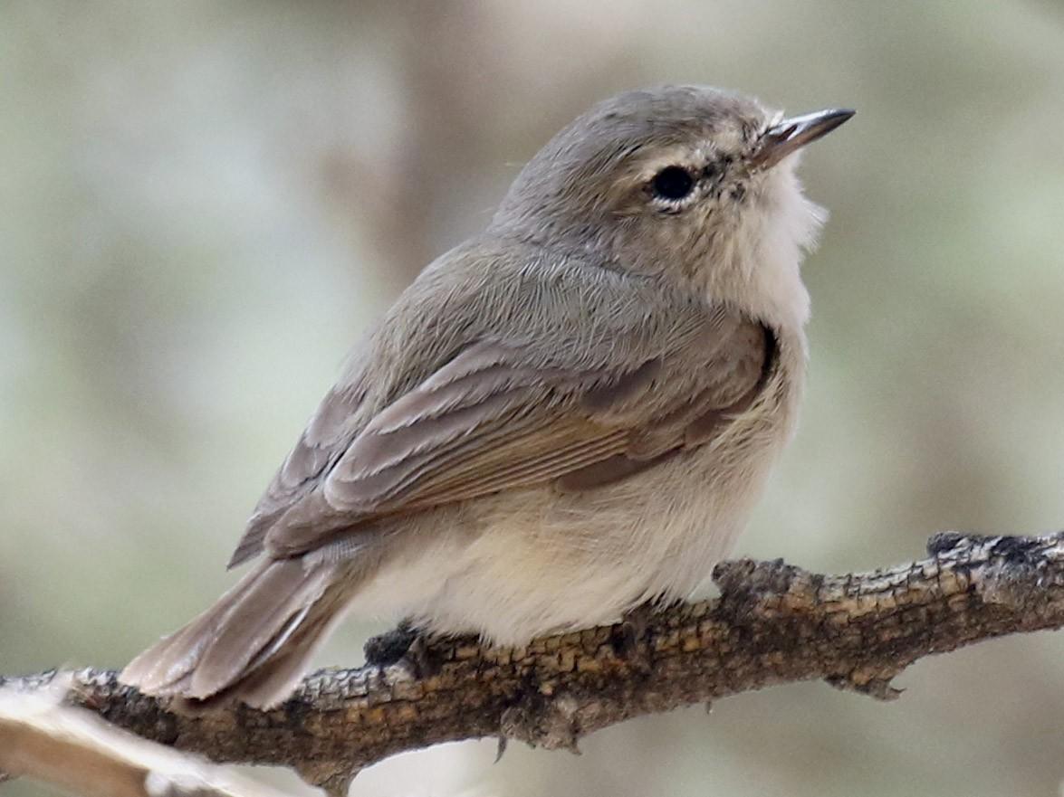 Plain Leaf Warbler - Bassel Abi Jummaa