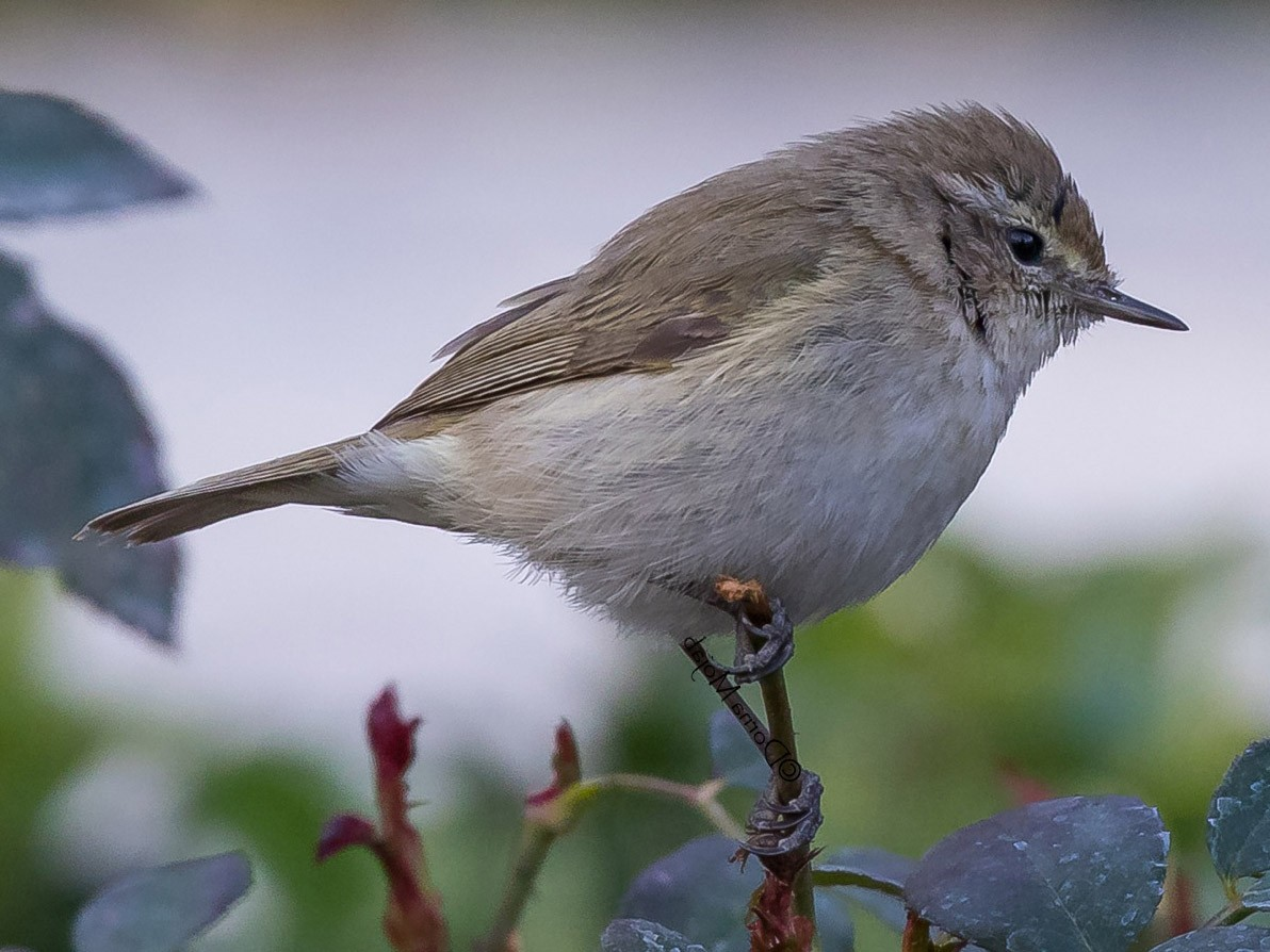 Plain Leaf Warbler - Dorna Mojab