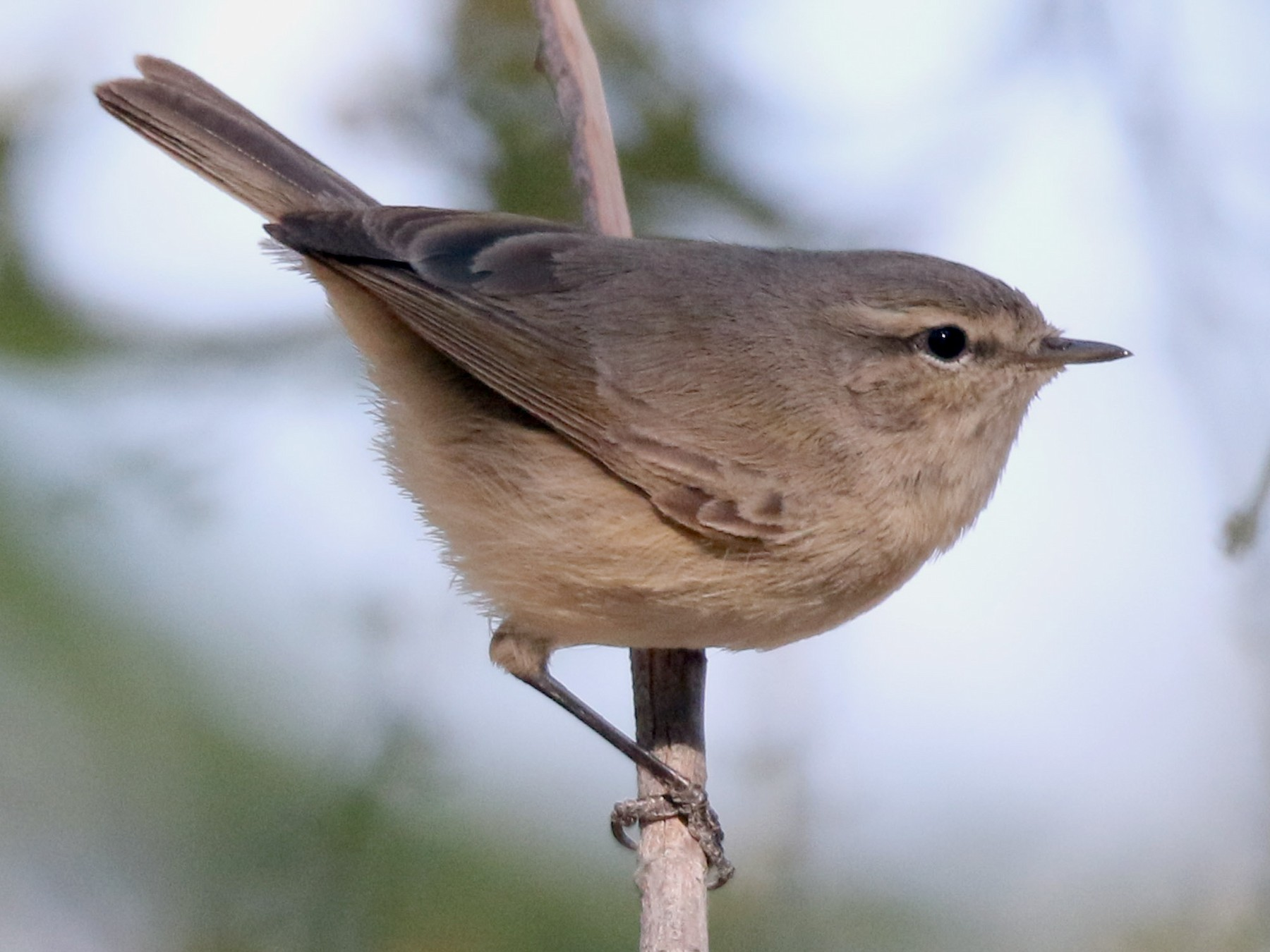 Plain Leaf Warbler - Fouad Itani