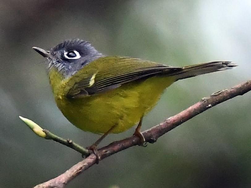 Gray-cheeked Warbler - Sriram Reddy
