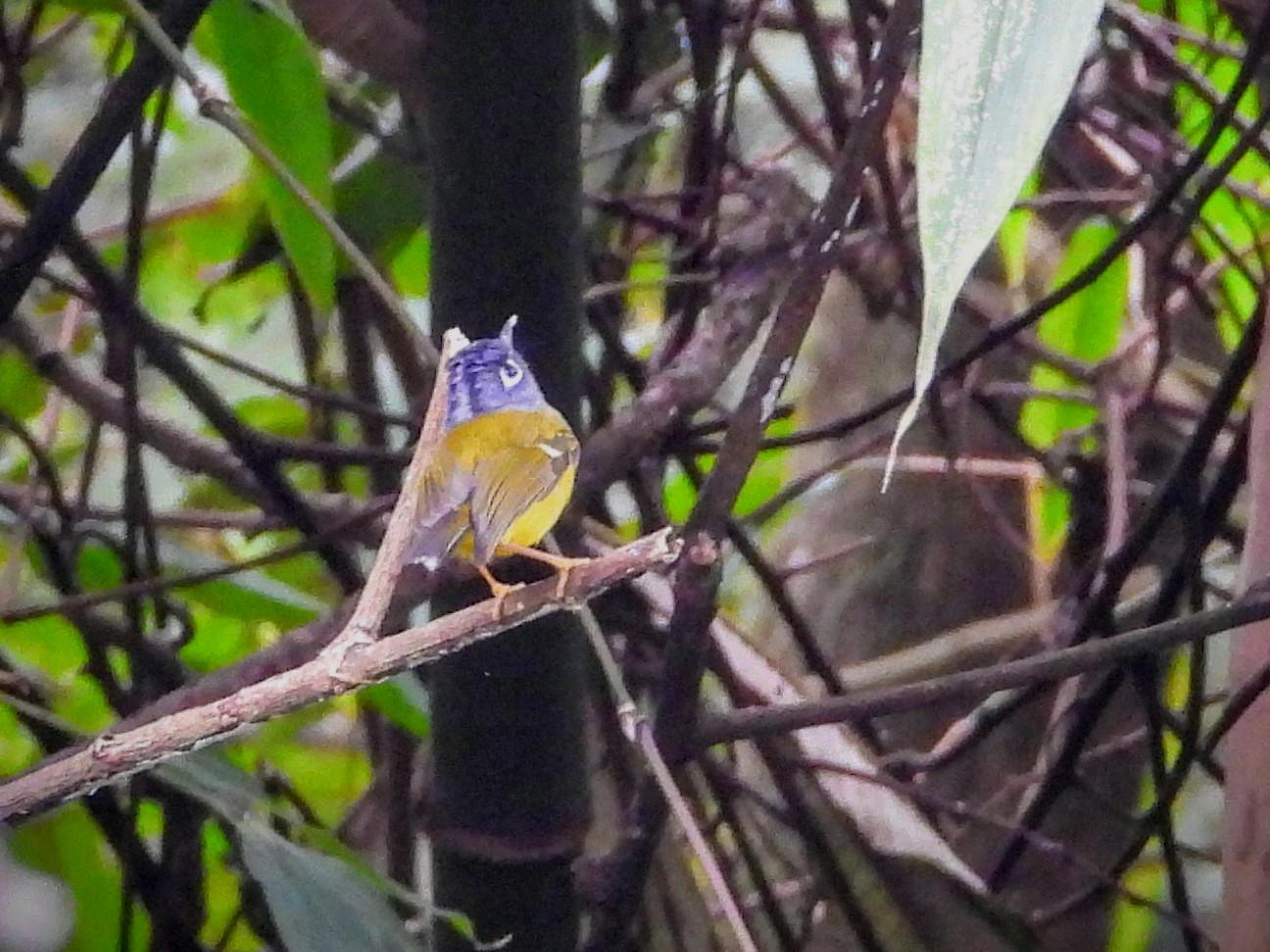 Gray-cheeked Warbler - Kalpesh Gaitonde