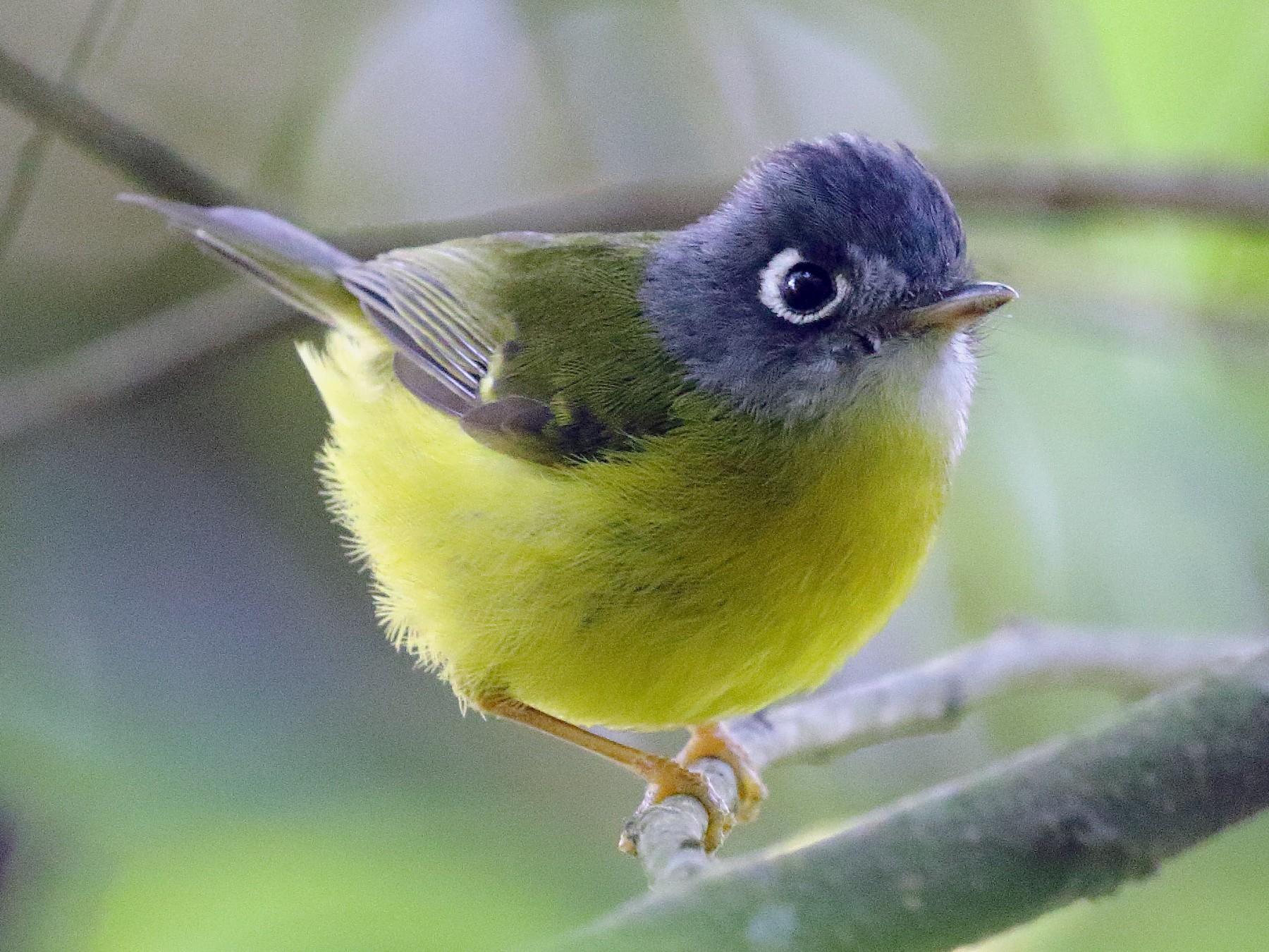 Gray-cheeked Warbler - Mangesh Prabhulkar