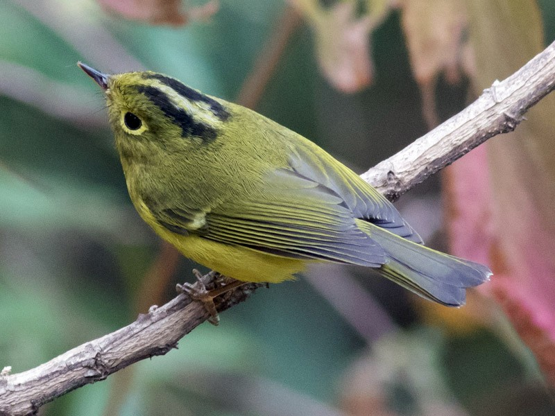 Whistler's Warbler - Tom Johnson