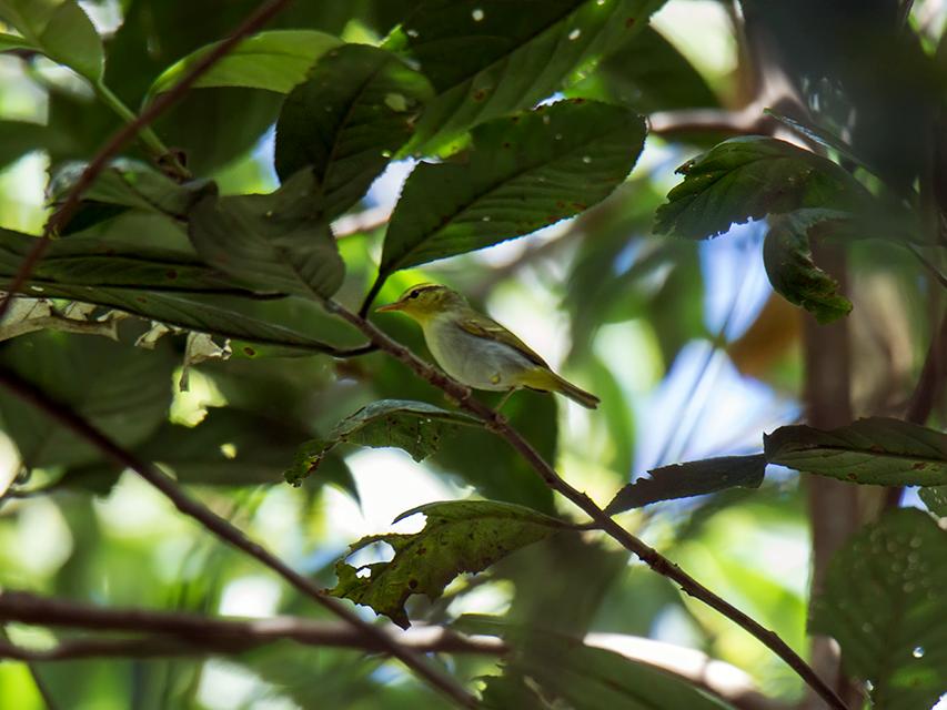 Yellow-vented Warbler - Wich'yanan (Jay) Limparungpatthanakij