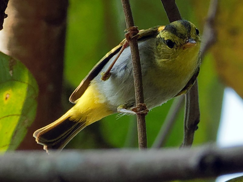 Yellow-vented Warbler - Vincent Wang