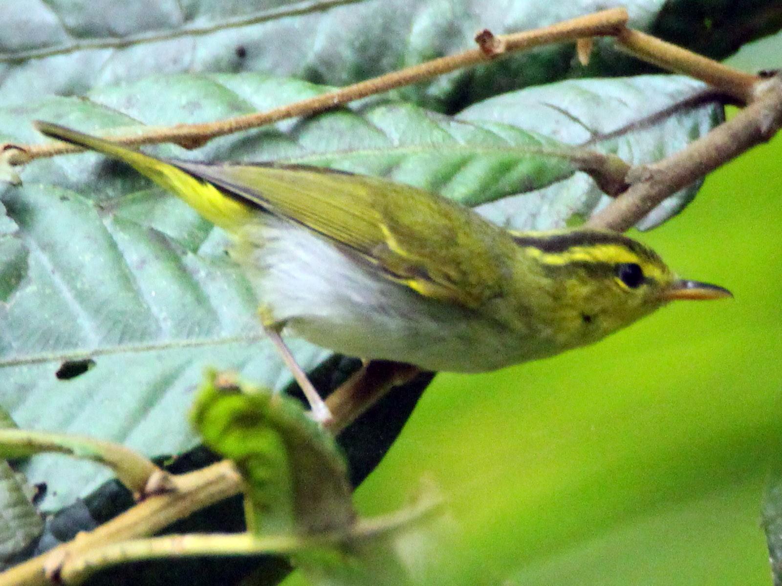 Yellow-vented Warbler - Praveen  Kumar