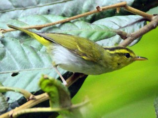 - Yellow-vented Warbler